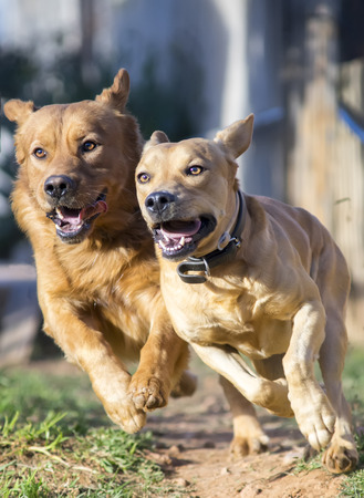 labrador teeth: photograph of a dogs running