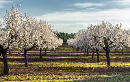 blossoming almond tree landscape in majorca, Spain