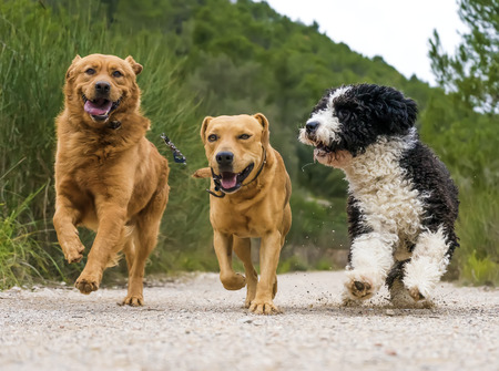 barking: photograph of a dogs running