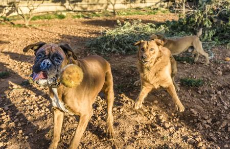 labrador teeth: pet animals, brown dog playing