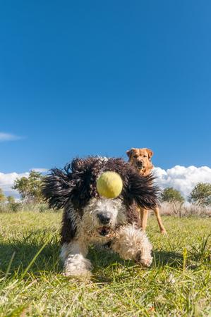 labrador teeth: pet animals,  happy dog playing