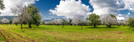 almond: blossoming almond tree landscape in majorca, Spain