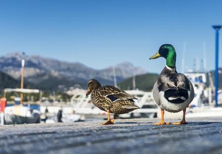 color image mallard duck: Ducks couple in love walking on the sidewalk