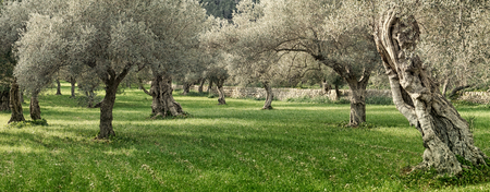 olijfgaard op het eiland Mallorca in Spanje