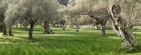 oliveraie sur l'île de Majorque en Espagne