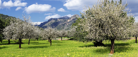 Almond trees in a grassy field Stock Photo