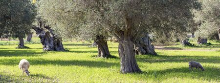 Olivenhain auf der Insel Mallorca in Spanien