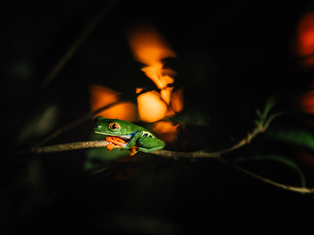 Red-eyed Frog at sunset, Costa Rica