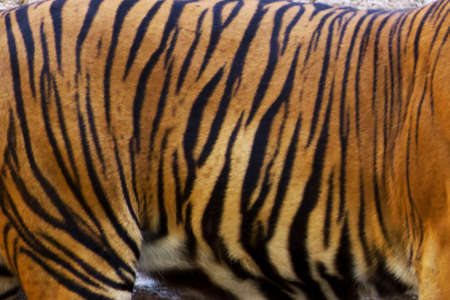 The Bengal tiger, beautiful cat endangered by poaching