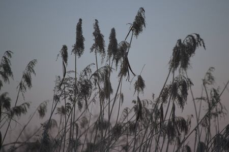 Phragmites fluttering in the wind with sunset in the background
