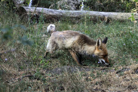 A fox runs through the forest in search of food