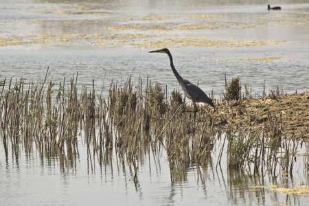 brackish water: Waterfowl in the Delta of Llobregat and conservation area, brackish water, a heron fishing