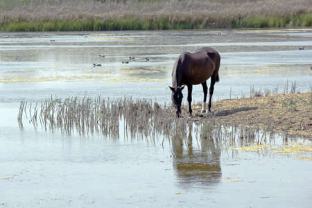 brackish water: Waterfowl in the Delta of Llobregat and conservation area, brackish water reflection in a horse grazing