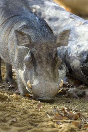 big tusks of warthogs photo