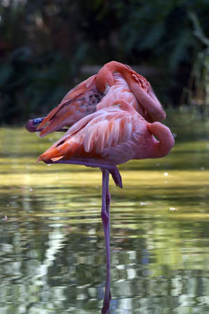 four species: There are four species of flamingos in America and two in the Old World Stock Photo