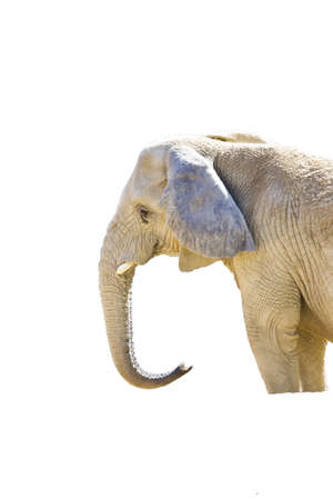 African Elephant on a white background profile photo