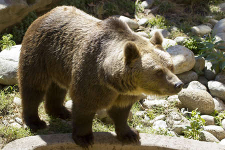 The European brown bear, re-introduced in the Pyrenees between Spain and France photo