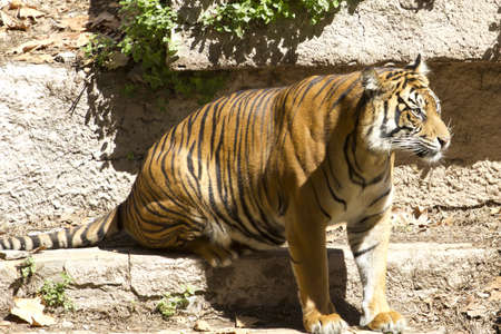 poaching: The Bengal tiger, beautiful cat endangered by poaching