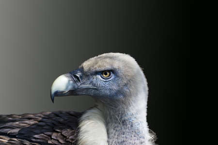 Detail of the head of a vulture with gradient background Stock Photo - 10744041