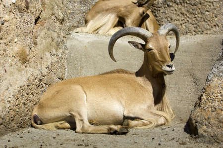 The Barbary sheep hunting is kind of rocky areas of the Sahara and the Maghreb, introduced in Spain and highly valued by the male photo