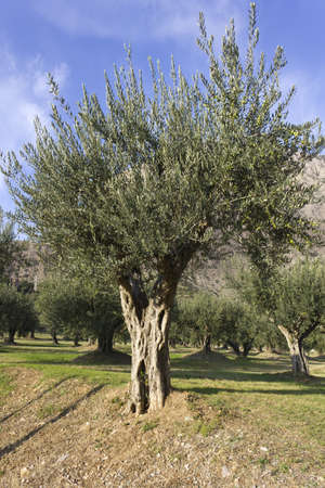 Olive trees for the production of Spanish olive oil photo