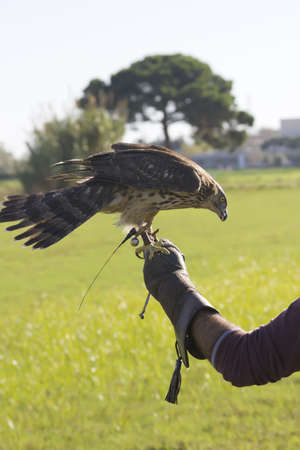 Falconer with a hawk perched on his fist Stock Photo