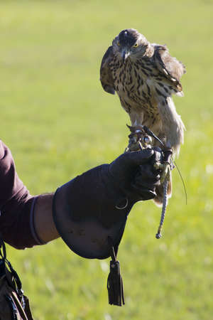 Falconer with a hawk perched on his fist photo