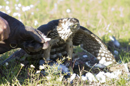 A big devours the prey hunted Goshawk photo