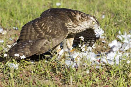azor: Un gran devora la presa caza Azor Foto de archivo