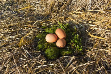 Fresh eggs of hens, brown moss and straw on Stock Photo