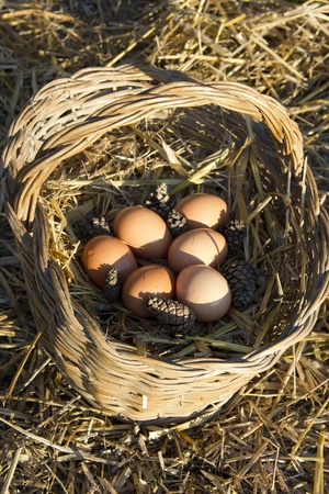 Fresh chicken eggs in a basket with straw