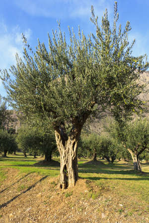 Ancient olive tree growing in northern Spain photo
