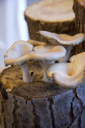 Coltivazione di funghi e funghi destinati al consumo umano photo