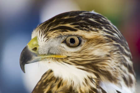 falconry: Birds of prey for the practice of ancient art of falconry Stock Photo