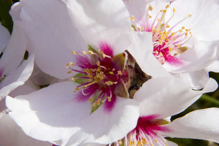 early blossoms: Beautiful pink and white flower of the almond tree, close up