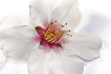 Beautiful pink and white flower of the almond tree, close up photo