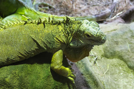 The iguana, a lizard green of Central America