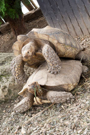 Two huge African tortoises mating