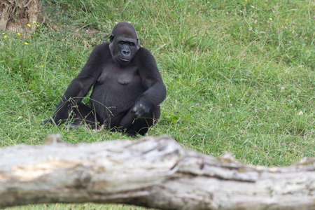 Lowland gorillas, rest on the green grass Stock Photo