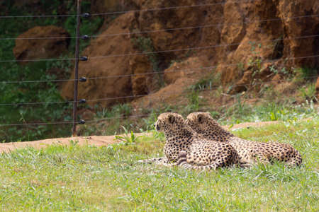 Various specimens of cheetah lying on a grassy meadow