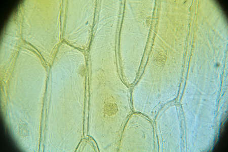 mitosis: Onion skin  view under biological microscope