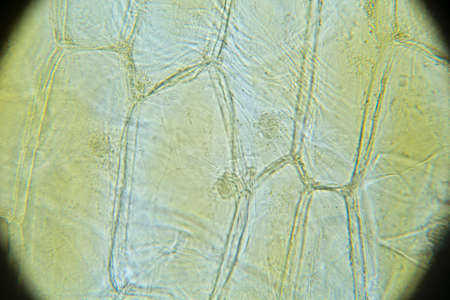 cytology: Onion skin  view under biological microscope