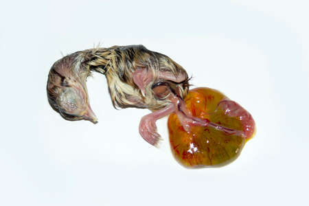 foetus: A little chick that he died during incubation Stock Photo