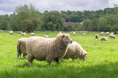 Sheeps grazing in the medow next to Salisbury Cathedral