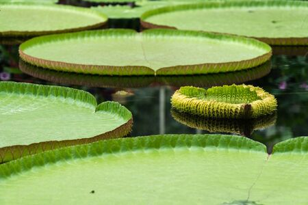 Giant water lily leaves in the botanical garden in Kew Gardens, London