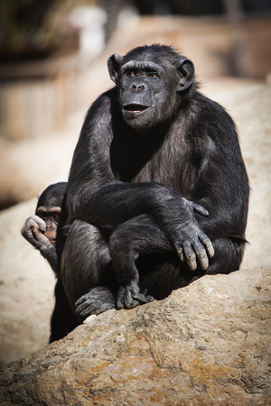 Beautiful portrait photograph of a chimpanzee with its young Stock Photo