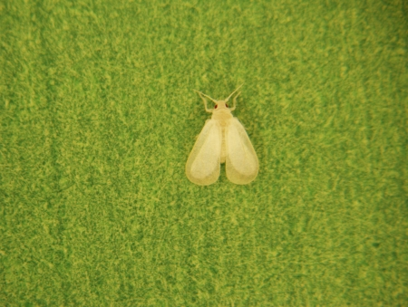 Stereoscopic shot of a whitefly on a paper sheet