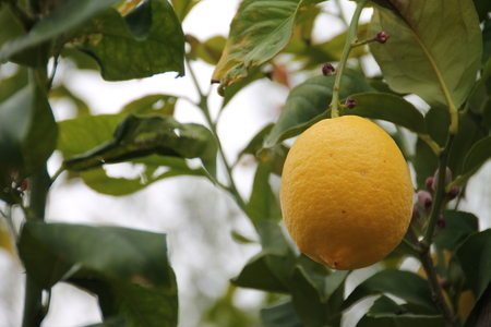 large yellow lemon hanging from the tree 写真素材