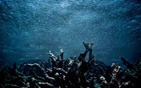 死んだサンゴのフィールド上魚の群れが泳ぐ 写真素材