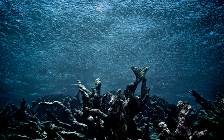 coral reef: A school of fish swims over a field of dead coral